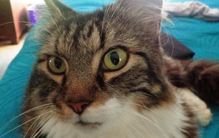cat - long haired tabby