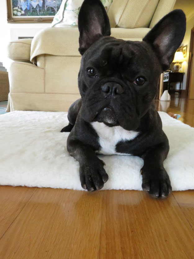 Why a Refined French Bulldog Became Timid & Frightened